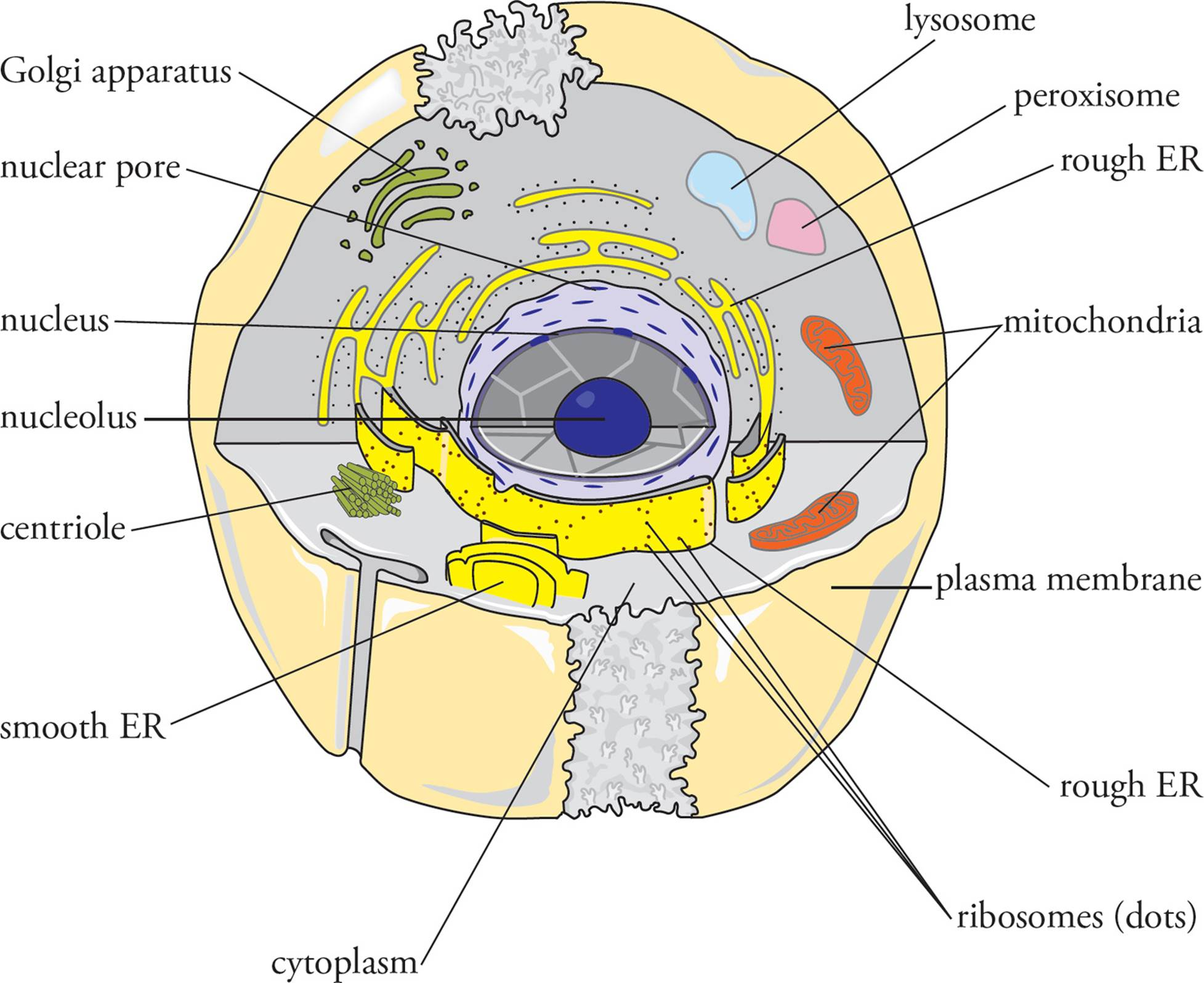 Eukaryotic Cells Mcat Biology And Biochemistry Of Animals Left Plant Right Our Discussion Will Be Based On The Animal Cell Fungi Have Already Been Discussed In Previous Chapter Neither Plants Nor Protists Motile