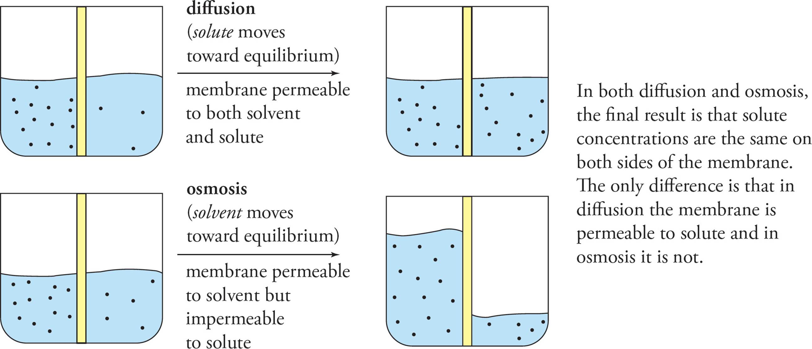 osmosis with sultanas in sucrose solution To find out how the concentration of sucrose solution affects the mass of the  potato chip left in  investigate the osmosis of potato cells in various salt  solutions.